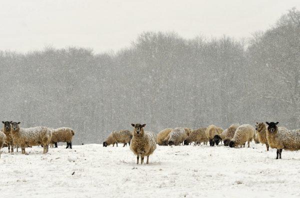 QLF Sheep Sugar