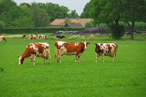 Magnesium supplement for cows.